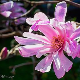 Magnolia Flower Wall Art NZ