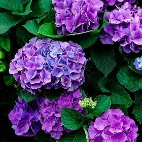 Purple Hydrangea Wall Art NZ
